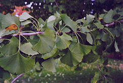 Ginkgo (Ginkgo biloba) at Squak Mountain Nursery