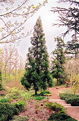 Japanese Cedar (Cryptomeria japonica) at Squak Mountain Nursery