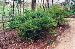Japanese Holly (Ilex crenata) at Squak Mountain Nursery