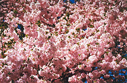 Accolade Flowering Cherry (Prunus 'Accolade') at Squak Mountain Nursery