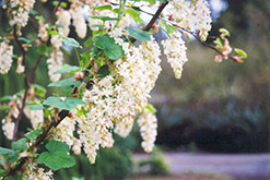 White Icicles Winter Currant (Ribes sanguineum 'White Icicles') at Squak Mountain Nursery