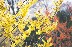 Arnold Promise Witchhazel (Hamamelis x intermedia 'Arnold Promise') at Squak Mountain Nursery