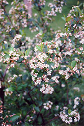 Black Chokeberry (Aronia melanocarpa) at Squak Mountain Nursery