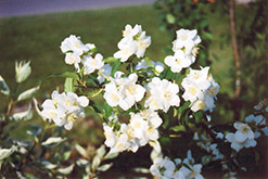 Blizzard Mockorange (Philadelphus 'Blizzard') at Squak Mountain Nursery