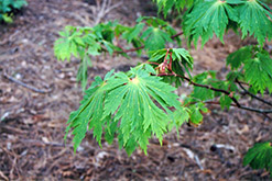 Fullmoon Maple (Acer japonicum) at Squak Mountain Nursery