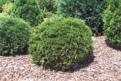 Hetz Midget Arborvitae (Thuja occidentalis 'Hetz Midget') at Squak Mountain Nursery