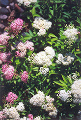 Shirobana Spirea (Spiraea japonica 'Shirobana') at Squak Mountain Nursery