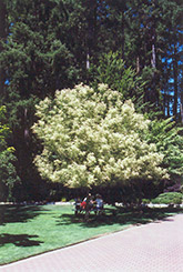 Flamingo Boxelder (Acer negundo 'Flamingo') at Squak Mountain Nursery