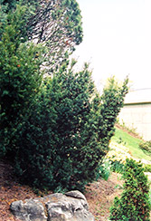 Captain Upright Yew (Taxus cuspidata 'Fastigiata') at Squak Mountain Nursery