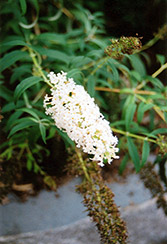 Nanho White Butterfly Bush (Buddleia davidii 'Nanho Alba') at Squak Mountain Nursery