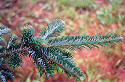 Fraser Fir (Abies fraseri) at Squak Mountain Nursery