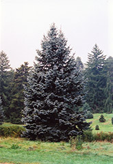 Hoopsii Blue Spruce (Picea pungens 'Hoopsii') at Squak Mountain Nursery