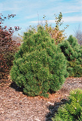 Big Tuna Mugo Pine (Pinus mugo 'Big Tuna') at Squak Mountain Nursery