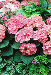 Merritt's Supreme Hydrangea (Hydrangea macrophylla 'Merritt's Supreme') at Squak Mountain Nursery
