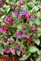 Dark Vader Lungwort (Pulmonaria 'Dark Vader') at Squak Mountain Nursery