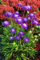 Ultra Violet Pincushion Flower (Scabiosa caucasica 'Ultra Violet') at Squak Mountain Nursery