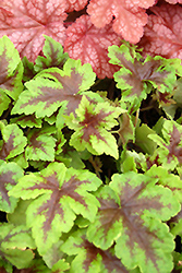 Neon Lights Foamflower (Tiarella 'Neon Lights') at Squak Mountain Nursery