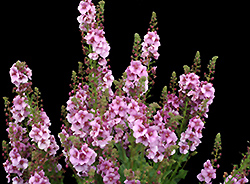 Lavender Lass Mullein (Verbascum 'Lavender Lass') at Squak Mountain Nursery