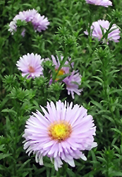 Melody Autumn Aster (Aster 'Melody') at Squak Mountain Nursery
