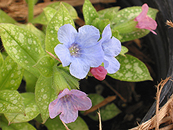 Baby Blue Lungwort (Pulmonaria 'Baby Blue') at Squak Mountain Nursery