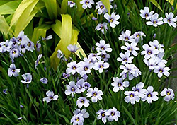 Devon Skies Blue-Eyed Grass (Sisyrinchium 'Devon Skies') at Squak Mountain Nursery