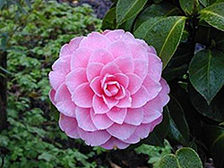 Mrs. Tingley Camellia (Camellia japonica 'Mrs. Tingley') at Squak Mountain Nursery