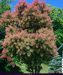 Cotton Candy American Smoketree (Cotinus obovatus 'Cotton Candy') at Squak Mountain Nursery