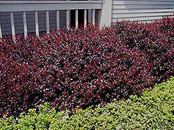 Crimson Ruby Barberry (Berberis thunbergii 'Criruzam') at Squak Mountain Nursery