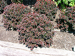 Pygmy Ruby Barberry (Berberis thunbergii 'Pygruzam') at Squak Mountain Nursery