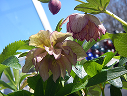 Maid Of Honor Hellebore (Helleborus 'Maid Of Honor') at Squak Mountain Nursery