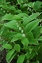 Variegated Solomon's Seal (Polygonatum odoratum 'Variegatum') at Squak Mountain Nursery