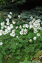 Windflower (Anemone sylvestris) at Squak Mountain Nursery