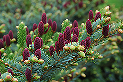 Red Cone Spruce (Picea abies 'Acrocona') at Squak Mountain Nursery
