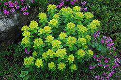 Cushion Spurge (Euphorbia polychroma) at Squak Mountain Nursery