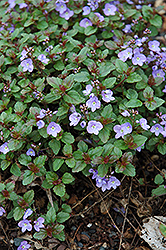 Waterperry Blue Speedwell (Veronica 'Waterperry Blue') at Squak Mountain Nursery