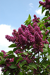Charles Joly Lilac (Syringa vulgaris 'Charles Joly') at Squak Mountain Nursery