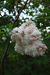 Beauty of Moscow Lilac (Syringa vulgaris 'Beauty of Moscow') at Squak Mountain Nursery