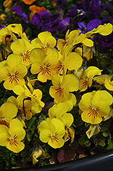 Penny Yellow Pansy (Viola cornuta 'Penny Yellow') at Squak Mountain Nursery