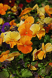 Penny Orange Pansy (Viola cornuta 'Penny Orange') at Squak Mountain Nursery