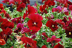 Penny Red Pansy (Viola cornuta 'Penny Red') at Squak Mountain Nursery