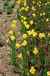 Golden Melody Tulip (Tulipa 'Golden Melody') at Squak Mountain Nursery