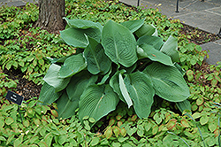 Blue Angel Hosta (Hosta 'Blue Angel') at Squak Mountain Nursery