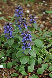 Caitlin's Giant Bugleweed (Ajuga reptans 'Caitlin's Giant') at Squak Mountain Nursery