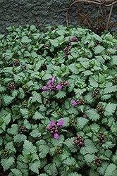 Red Nancy Spotted Dead Nettle (Lamium maculatum 'Red Nancy') at Squak Mountain Nursery