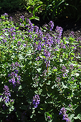 Dropmore Blue Catmint (Nepeta x faassenii 'Dropmore Blue') at Squak Mountain Nursery