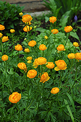 Orange Globe Globeflower (Trollius x cultorum 'Orange Globe') at Squak Mountain Nursery