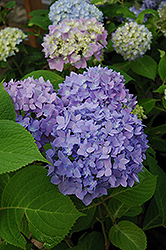 Endless Summer® Hydrangea (Hydrangea macrophylla 'Endless Summer') at Squak Mountain Nursery