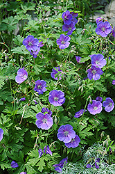 Johnson's Blue Cranesbill (Geranium 'Johnson's Blue') at Squak Mountain Nursery