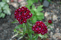 Sweet William (Dianthus barbatus) at Squak Mountain Nursery