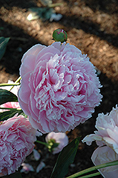 Shirley Temple Peony (Paeonia 'Shirley Temple') at Squak Mountain Nursery